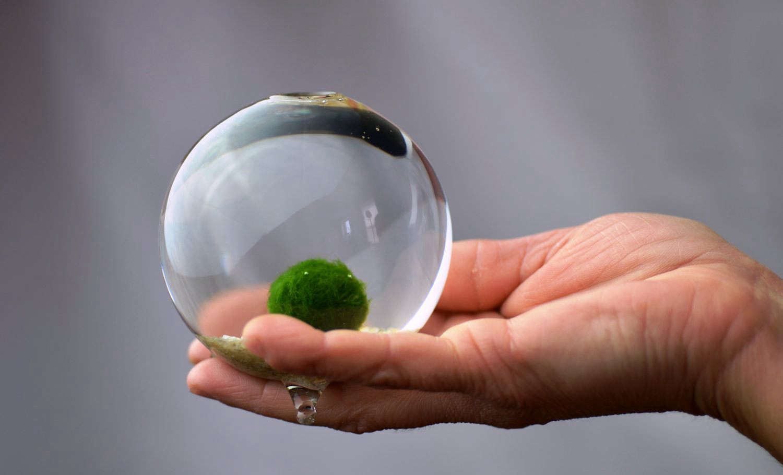Marimo Moss Ball Terrarium Aquarium Zen Garden Globe Mixglass Com Br