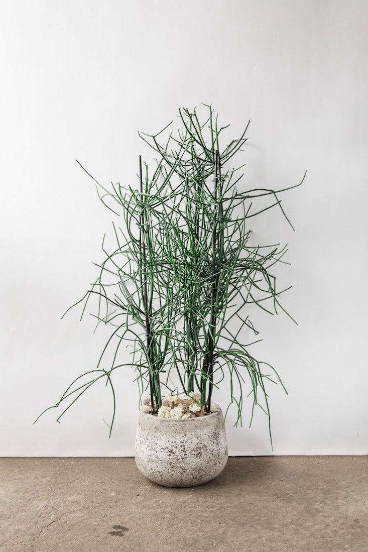 Gardening 101: Pencil Cactus - Gardenista