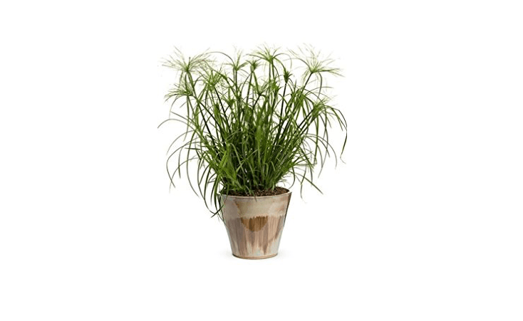You can start Cyperus alternifolius from seed, as well; a packet of 50 Umbrella Plant Seeds is $