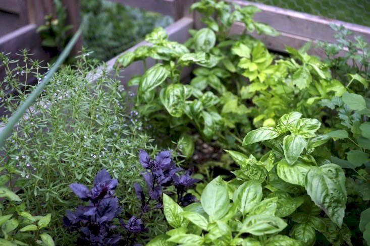 Purple And Green Basil Make Happy Companions In A Raised Bed Herb Garden In  Laura Silvermanu0027s