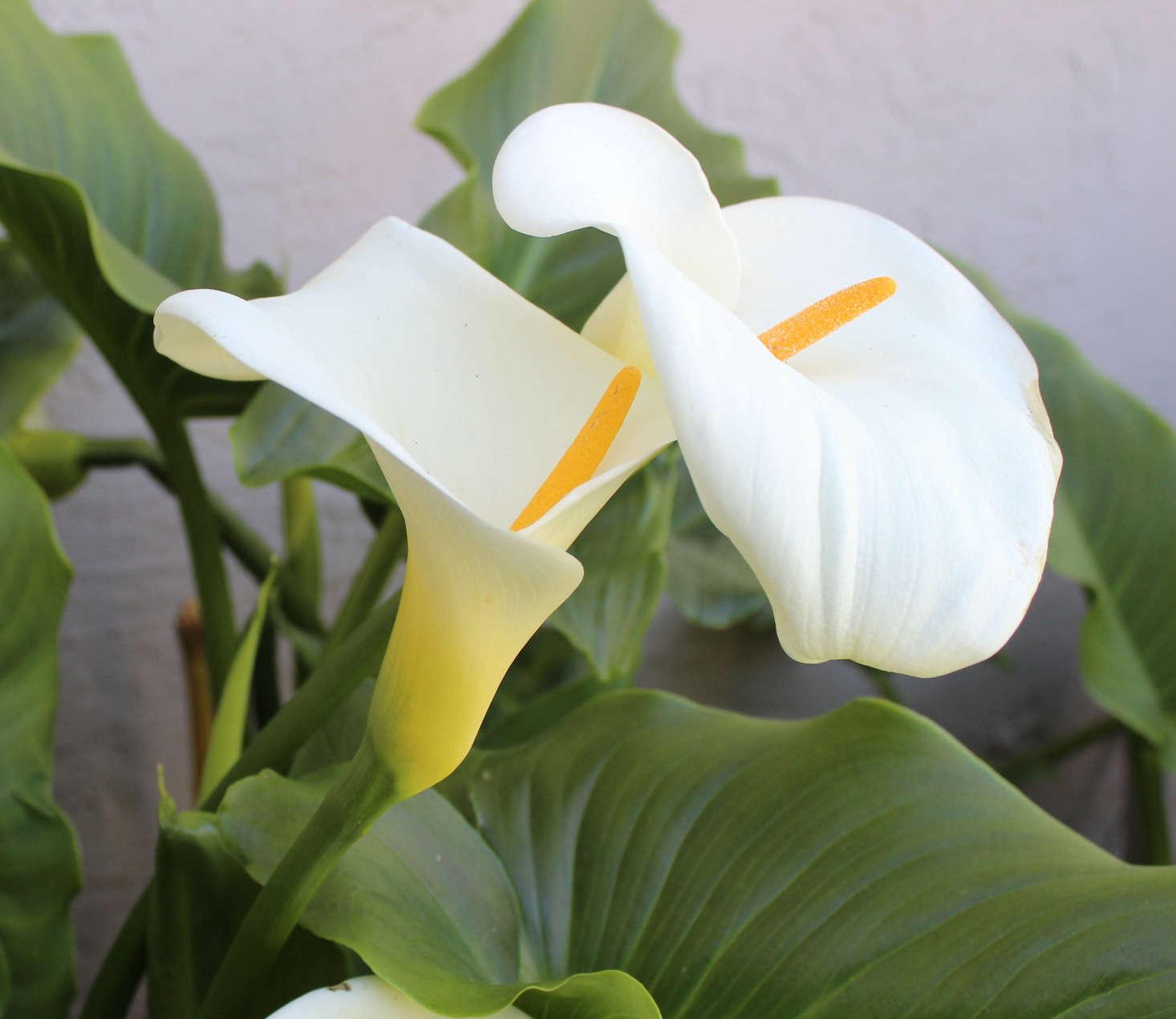 Gardening 101 Calla Lily Gardenista