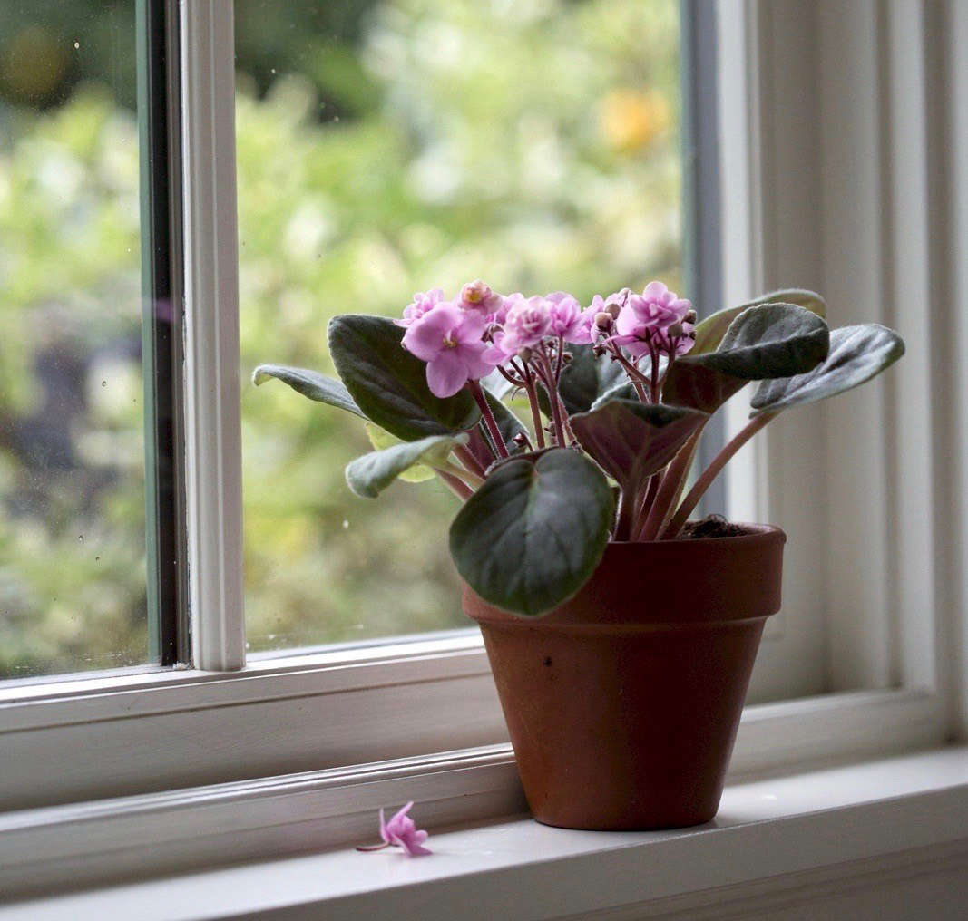 African Violets Rethinking Americas Favorite House Plant For