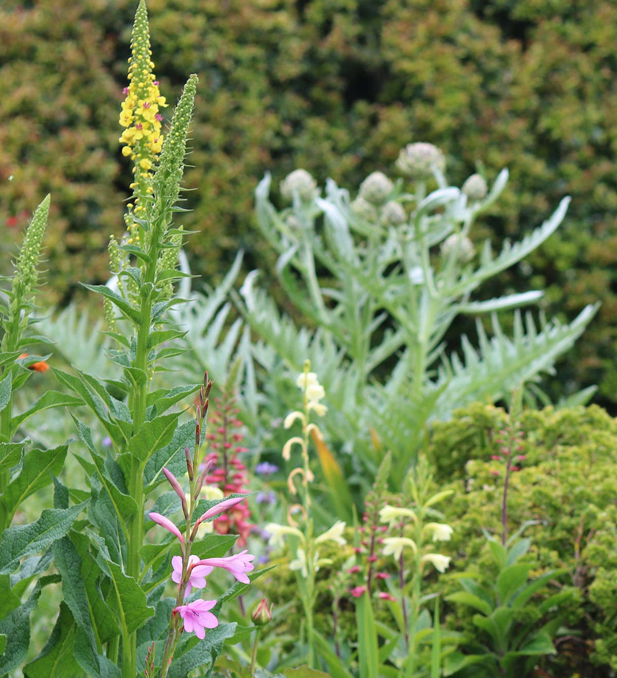 The eclectic verbascum bed shares space with watsonias and artichokes. The giant edible thistle is grown for its spectacular purple flowers.