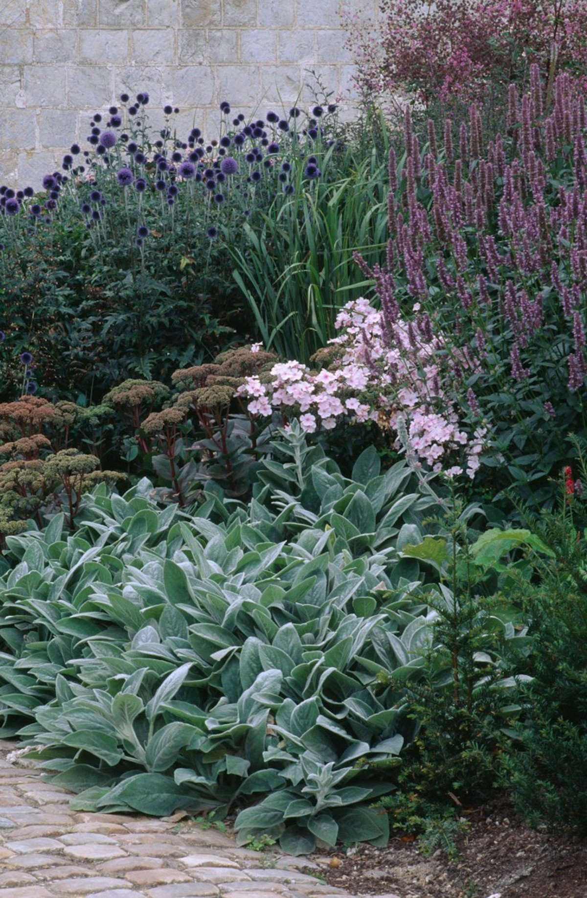How To Successfully Grow Lamb S Ear A Field Guide To