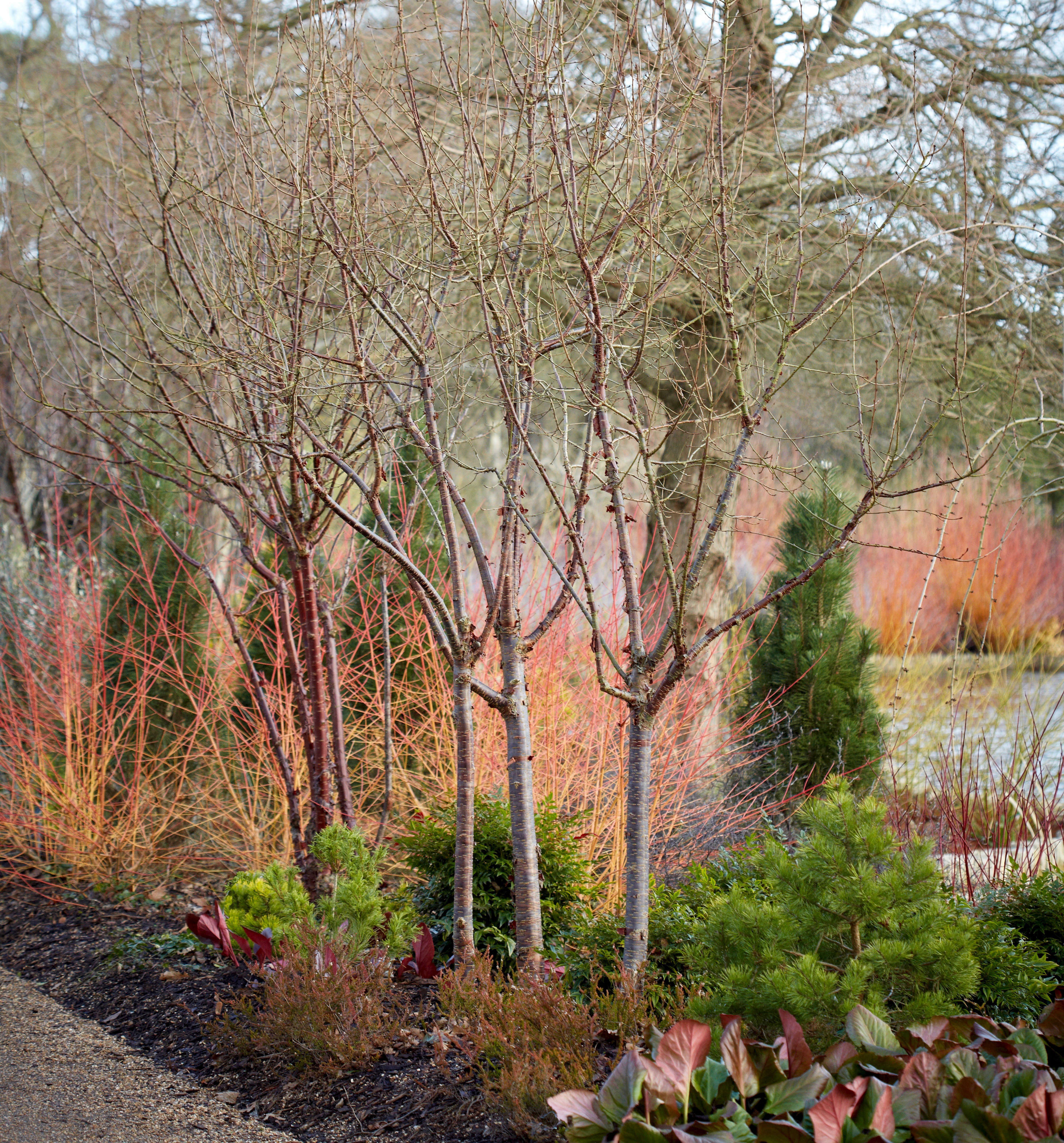 Landscape Ideas: Blazing Color With Red Twig Dogwood, 5