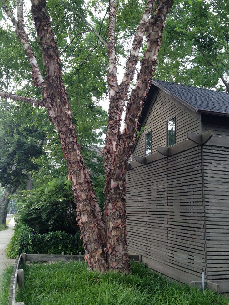 Birch Trees 5 Favorites To Plant In A Landscape Gardenista