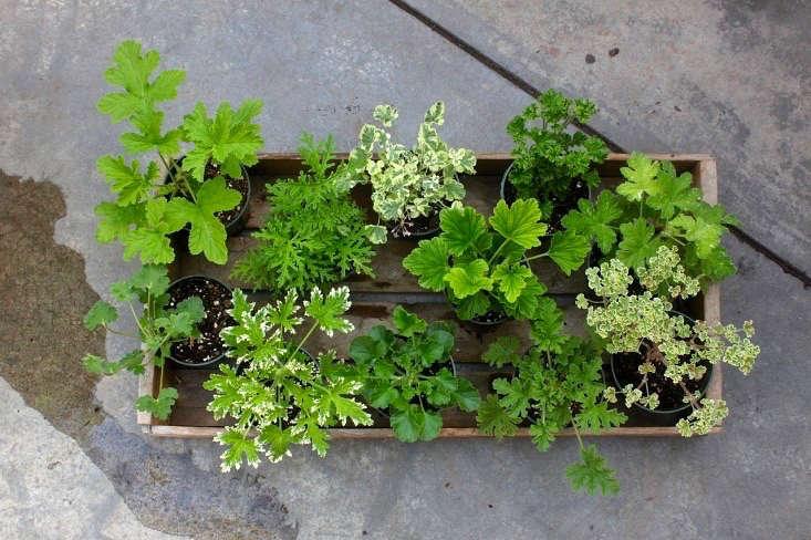 Gardening 101 Scented Geranium Gardenista