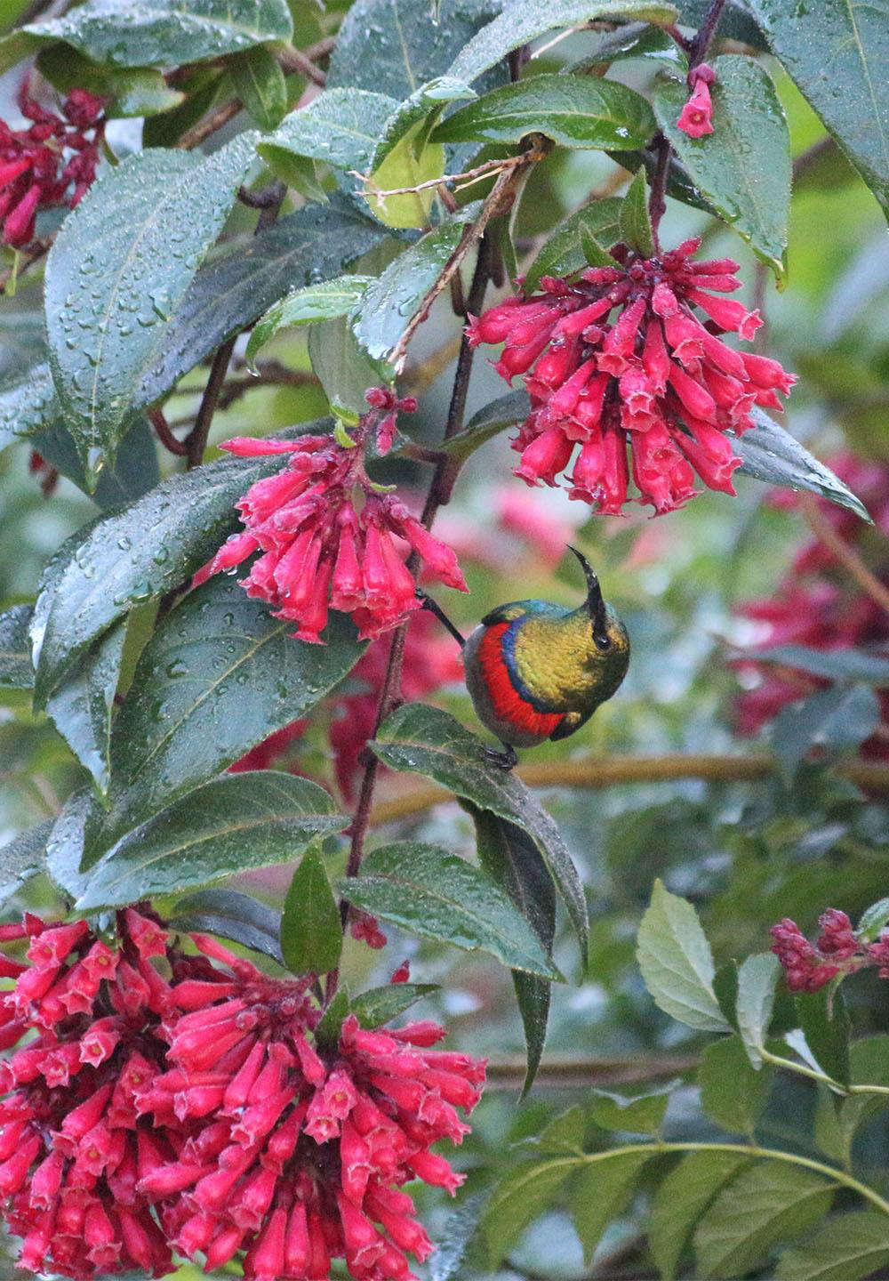 The sunbirds are attracted to red flowers and this Cestrum elegans was planted for them.