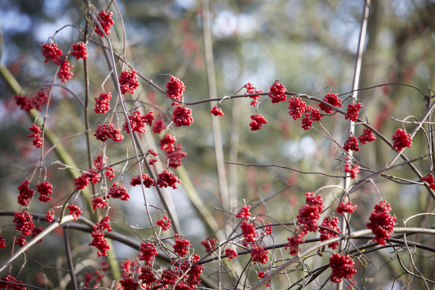 紫檀素,叶叶是红叶。