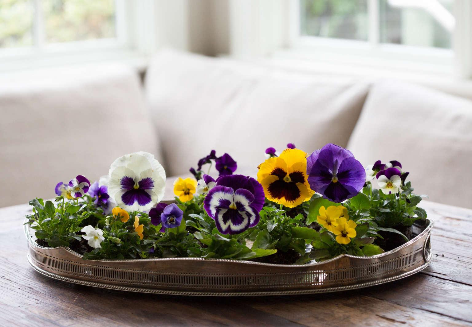 Giant Pansies Rethinking A 1960s Bedding Plant Gardenista