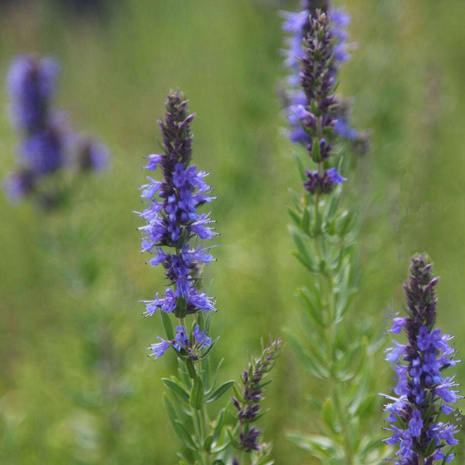 3 Easy Facts About How To Sow Hyssop Seeds Shown