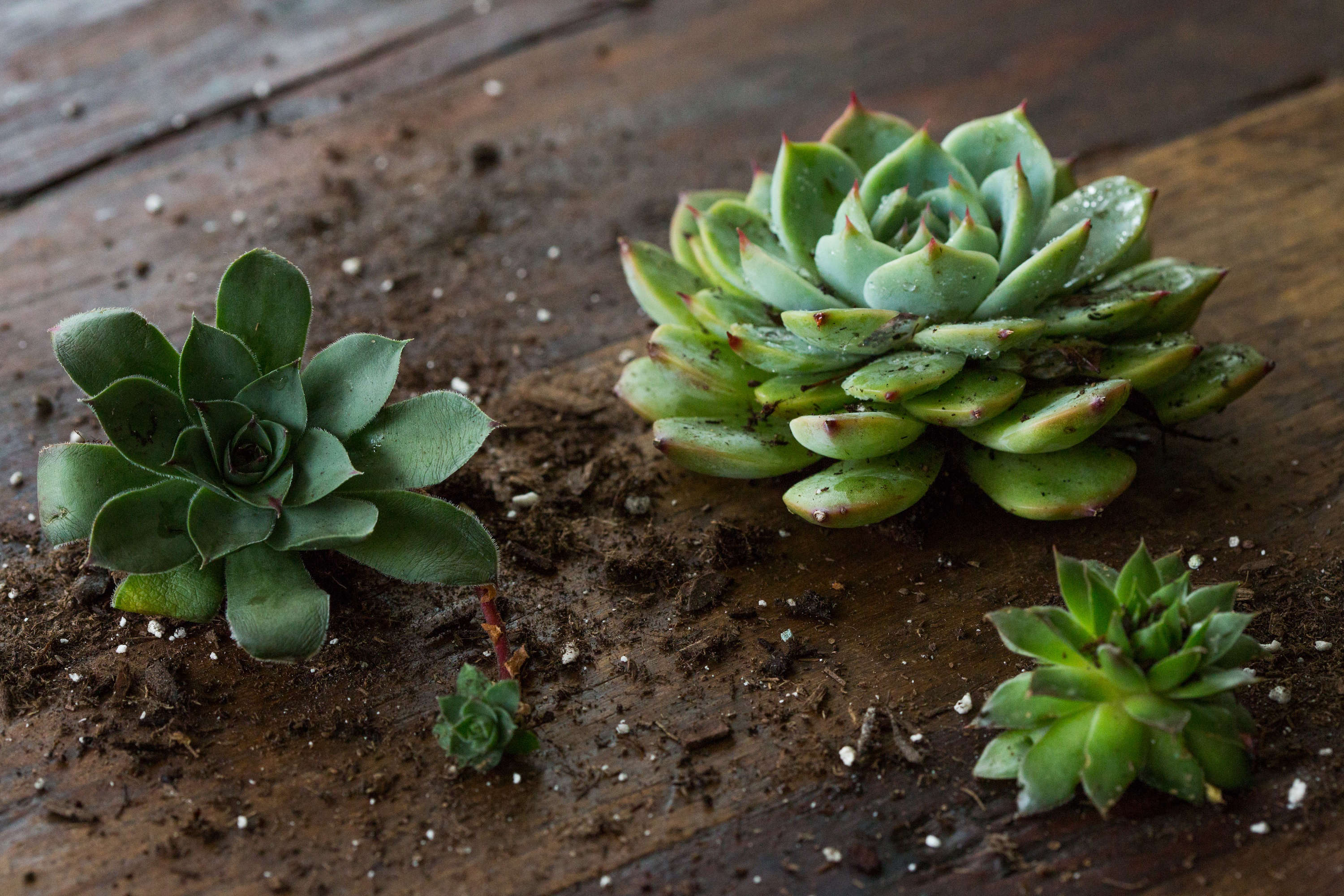 Succulents Explained How To Identify And Grow Sempervivums Gardenista
