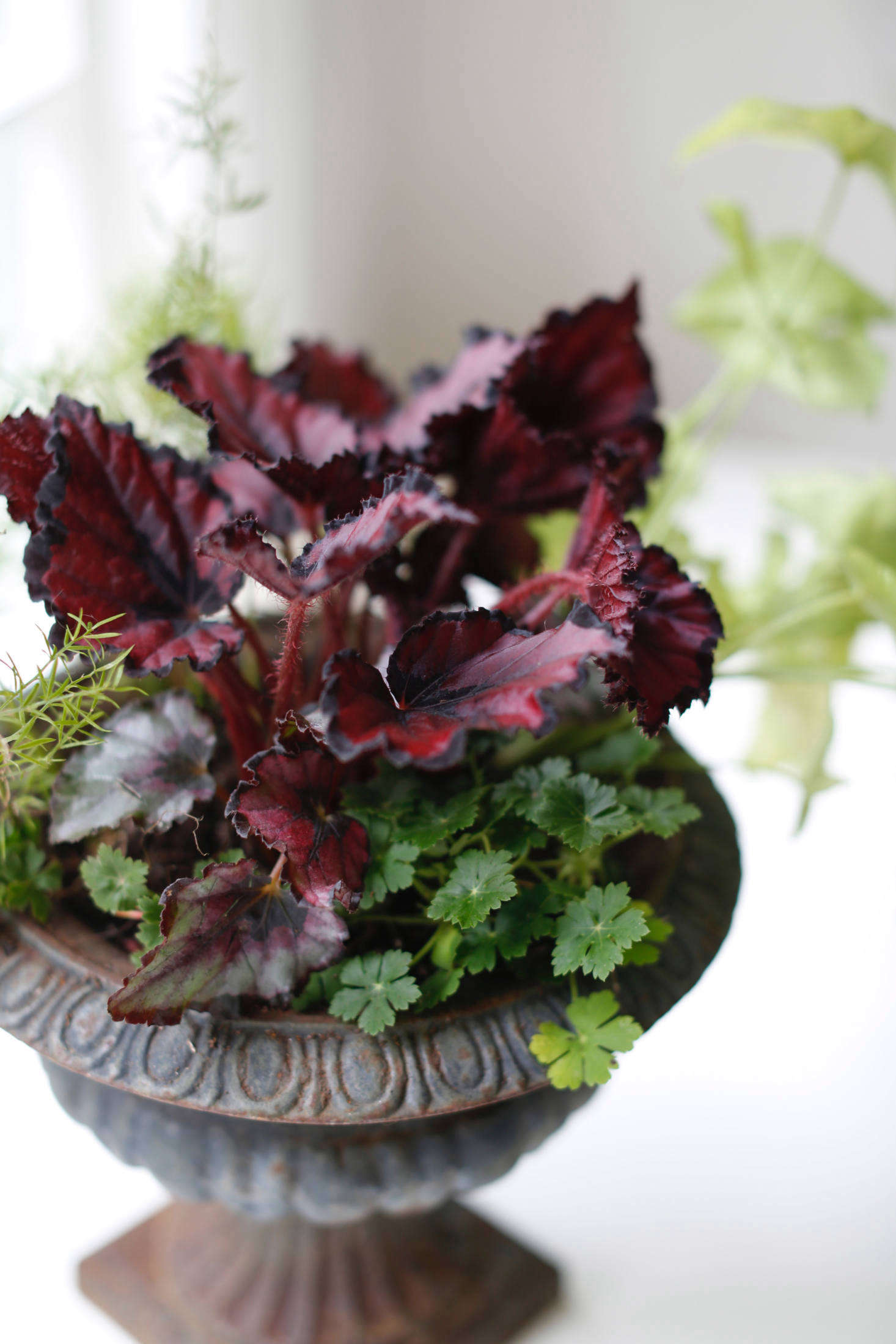 Houseplant Help 5 Tips To Keep Finicky Begonia Rex Alive Gardenista