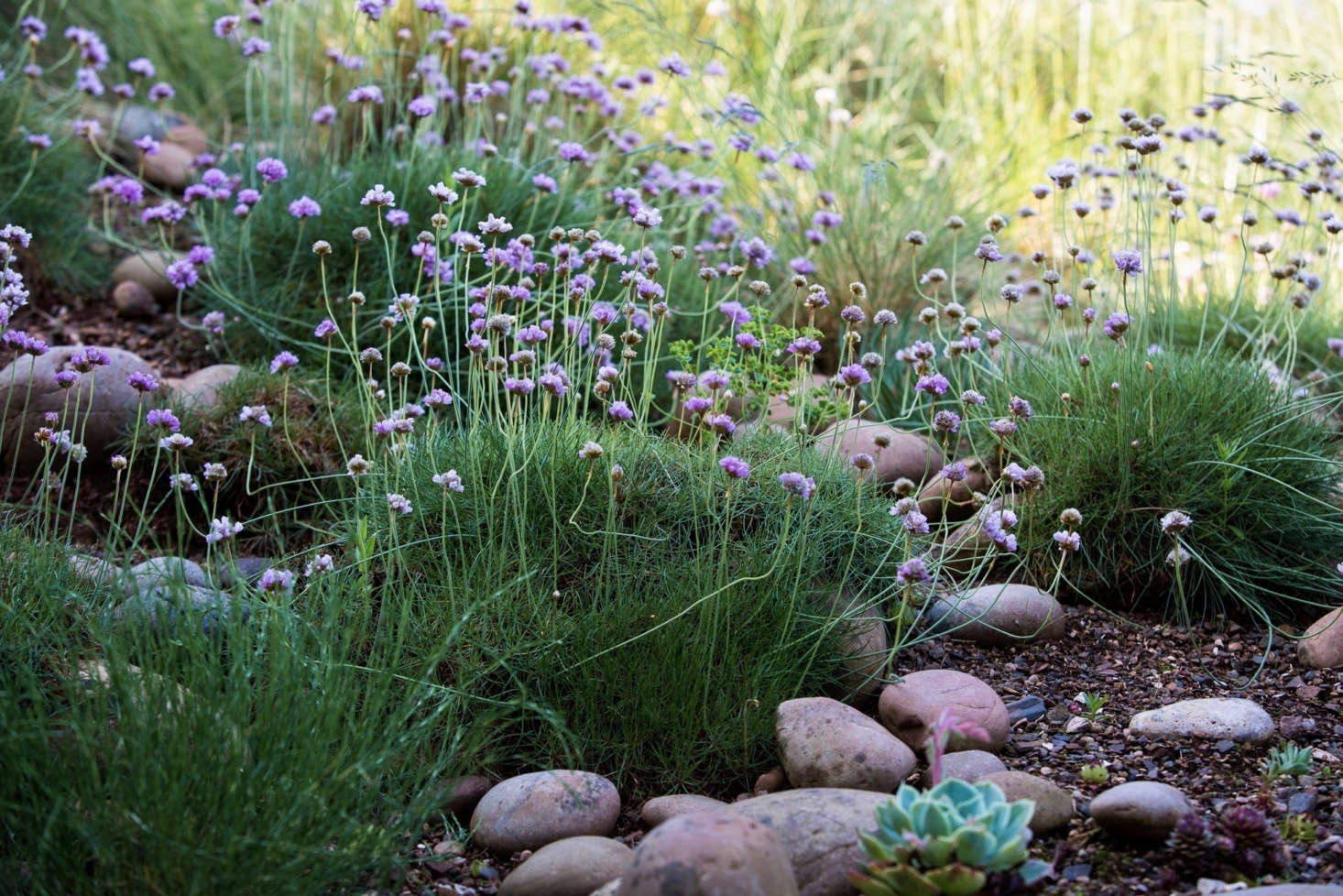 Sea Thrift (Armeria Maritima) Forms Helpful Mats Of Ground Cover, Aided  Here By