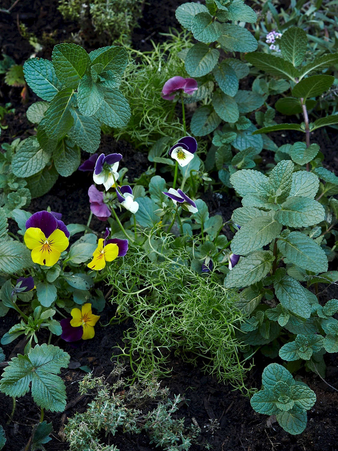 Pansies, chamomile, mint, and strawberries are happy companions in Gardenista editor Michelle Slatalla&#8