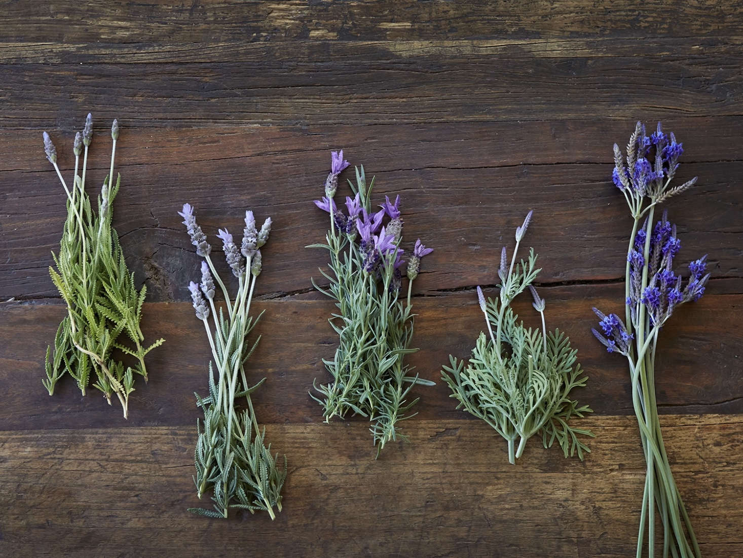 Here are a few of the types of lavender that I grow in my garden in Northern California, including (in the middle) Spanish lavender (Lavandula stoecha) and, on the far right, jagged lavender (L. pinnata buchii) with long, smooth stems.