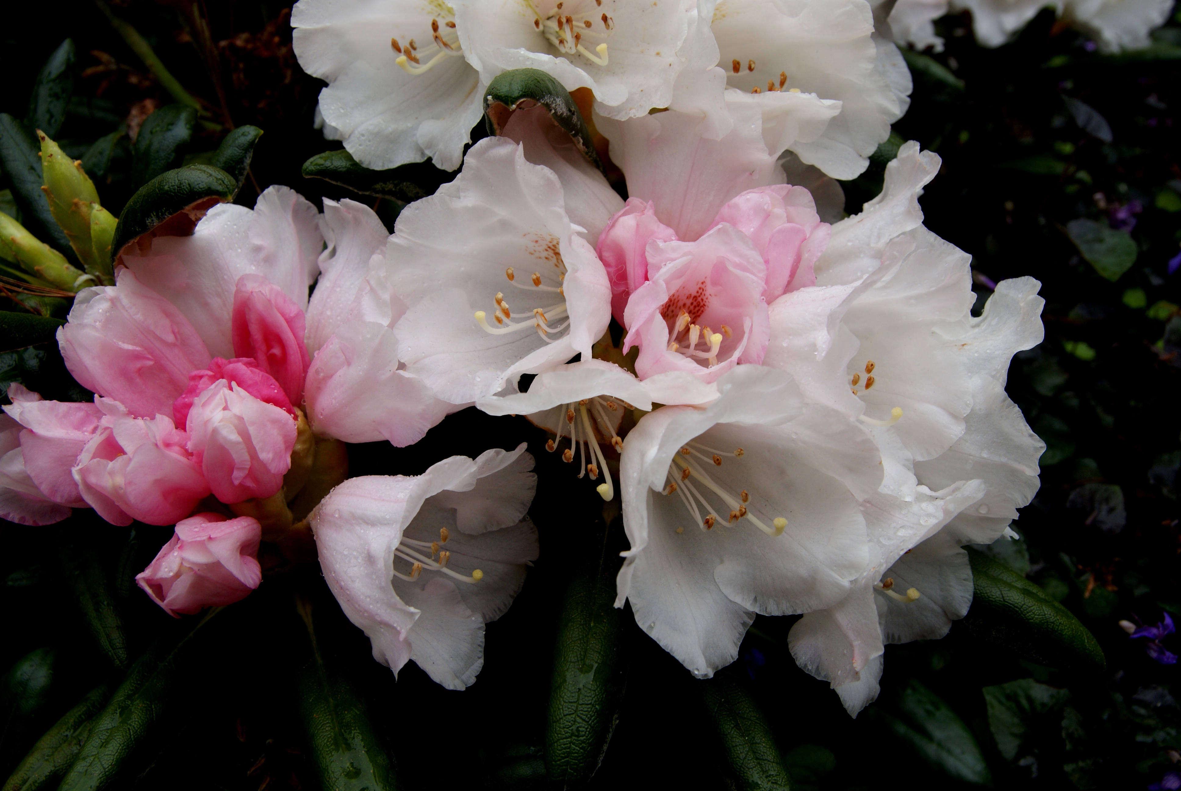 Gardening 101 Rhododendrons Gardenista
