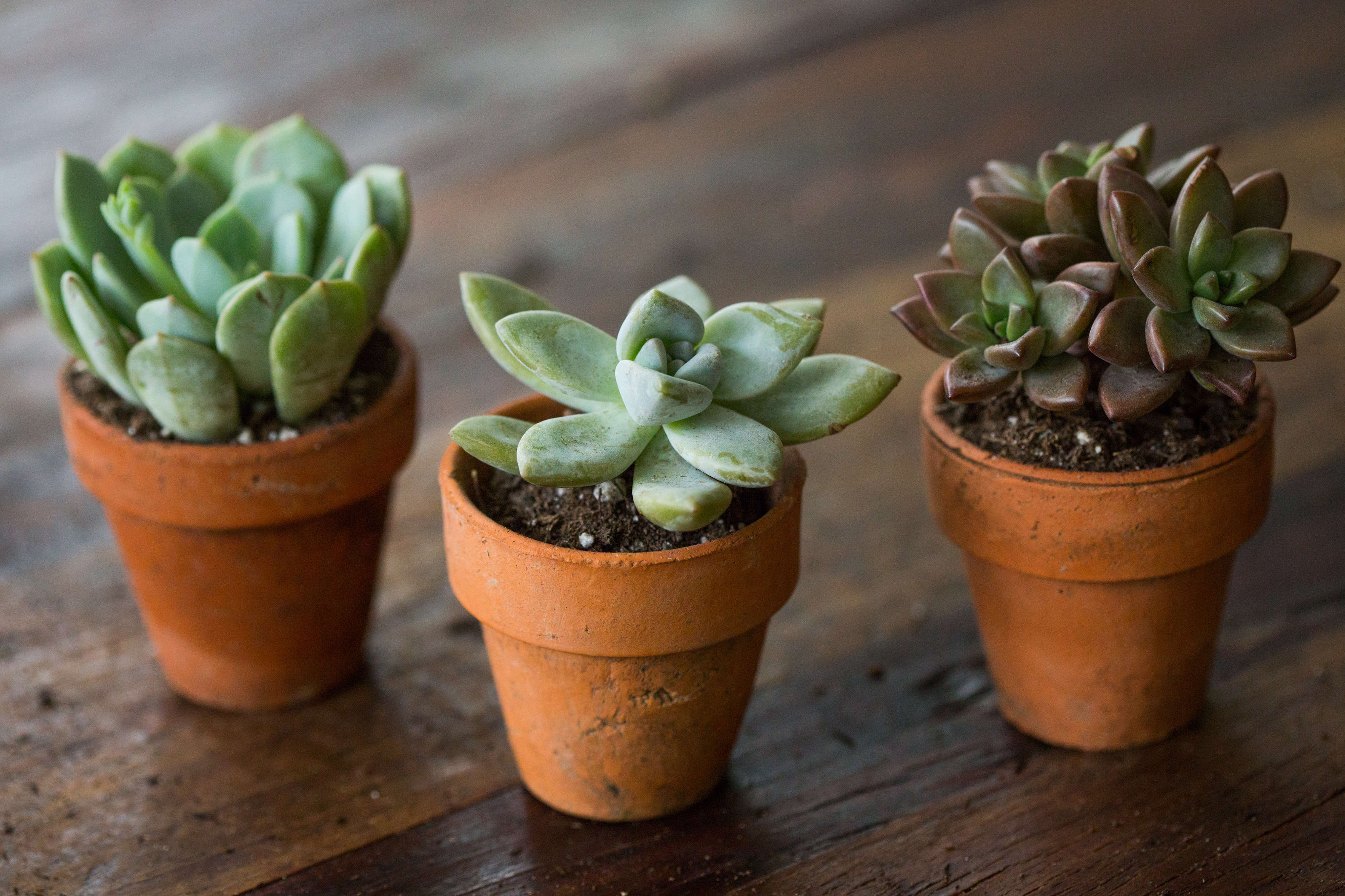 Succulents Explained: How to Identify and Grow Graptos - Gardenista