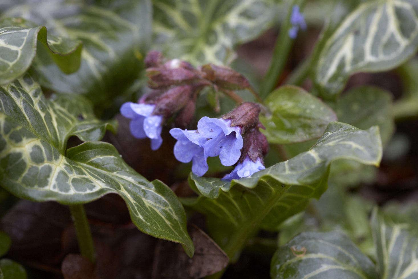 gardening 101: italian arum - gardenista