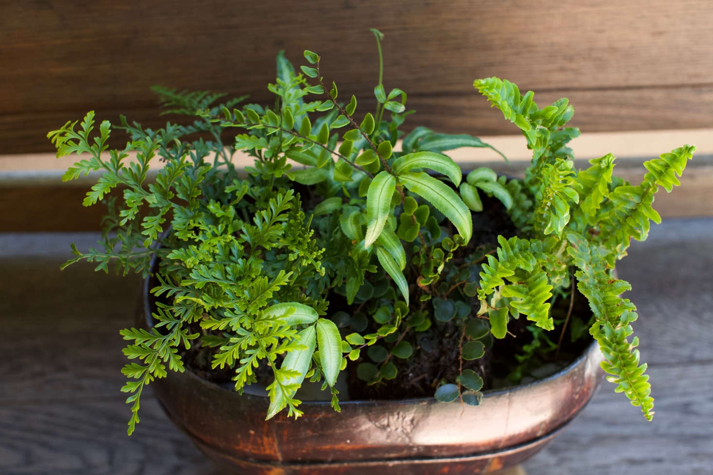 Asplenium bulbiferum (at left) is commonly known as mother spleenwort fern and also is a good choice for a shade garden.