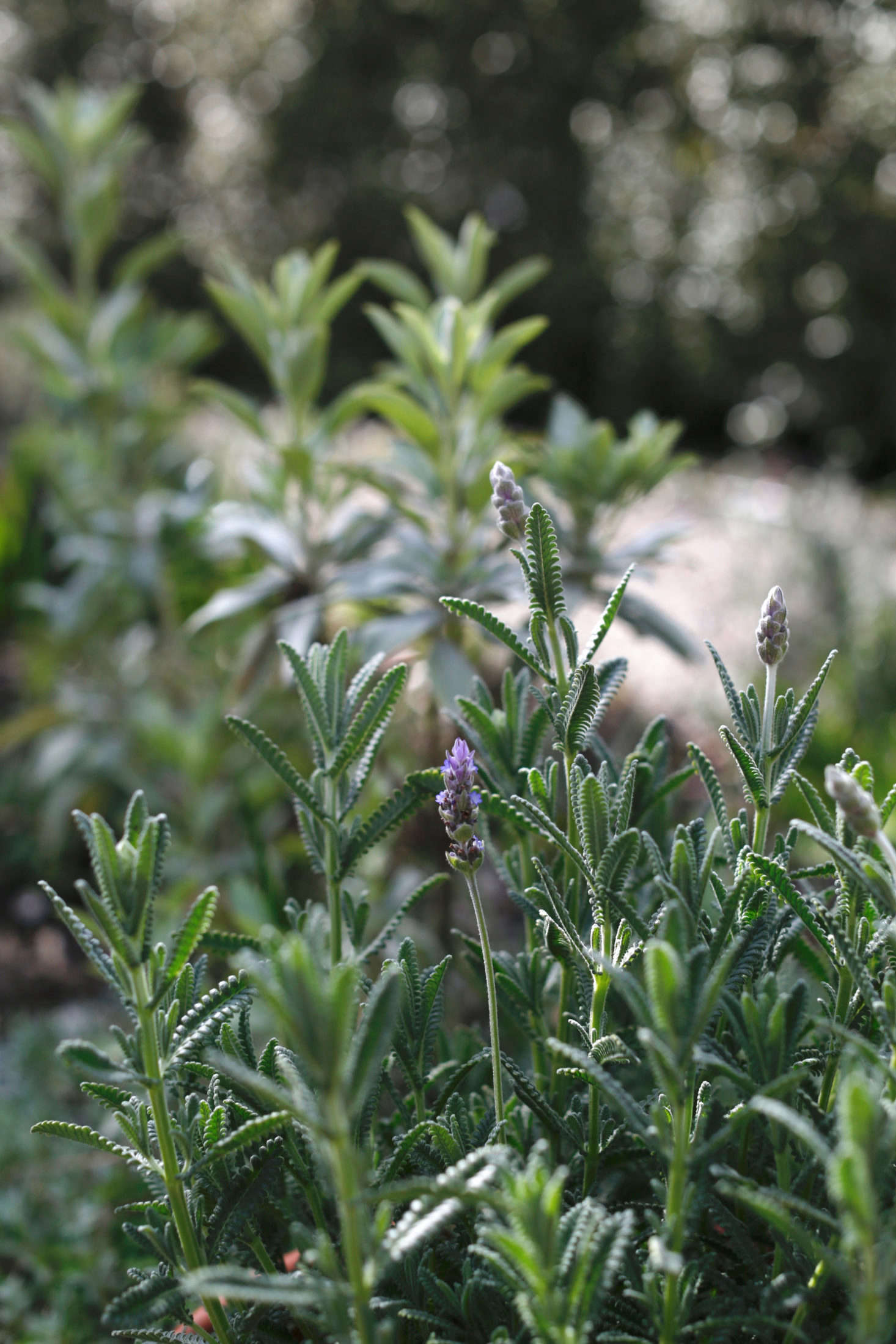 Everything You Need to Know About Lavender (Plus 5 Kinds ...