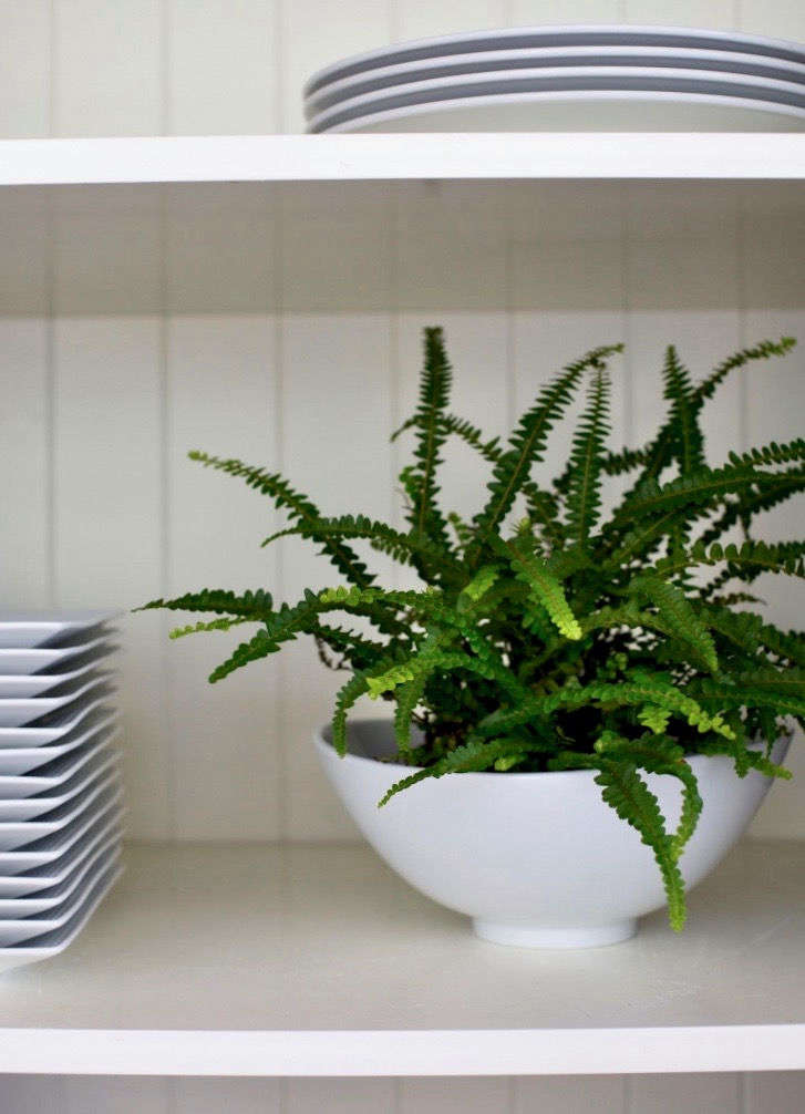See more growing tips for a lemon button fern at Best Houseplants: 9 Indoor Plants for Low Light.