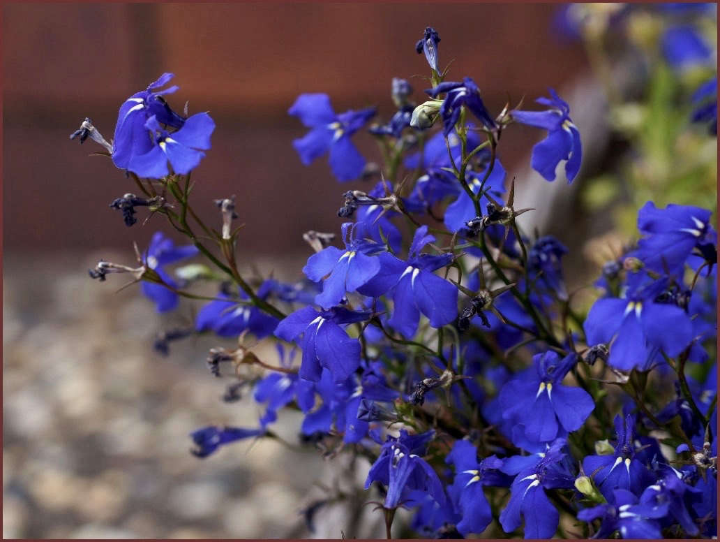 Lobelias A Guide To Planting Colorful Annual Flowers In Garden Beds