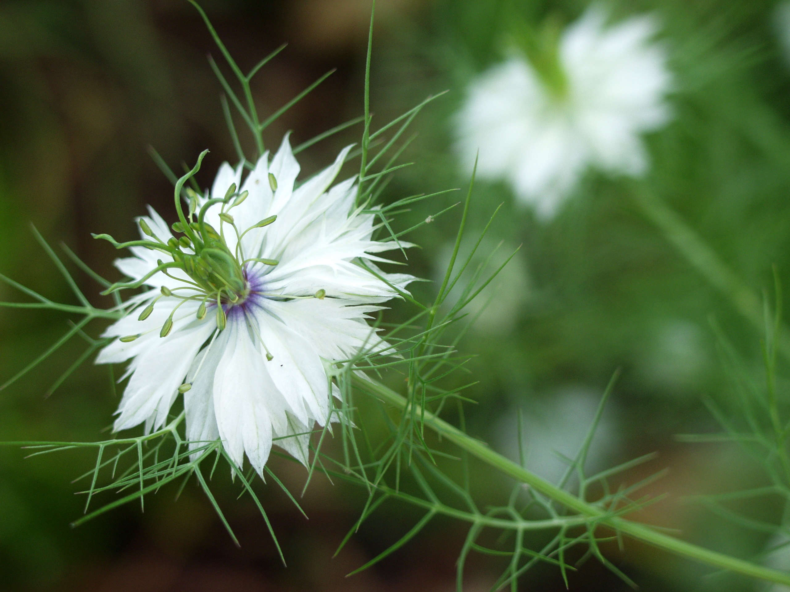 Love In A Mist What You Need To Know Successfully Grow Nigella Damascena