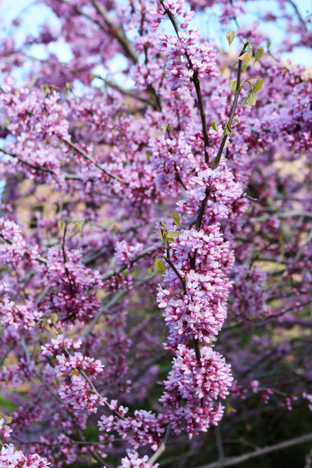 Eastern Redbud How To Plant And Care For A Native Flowering Tree