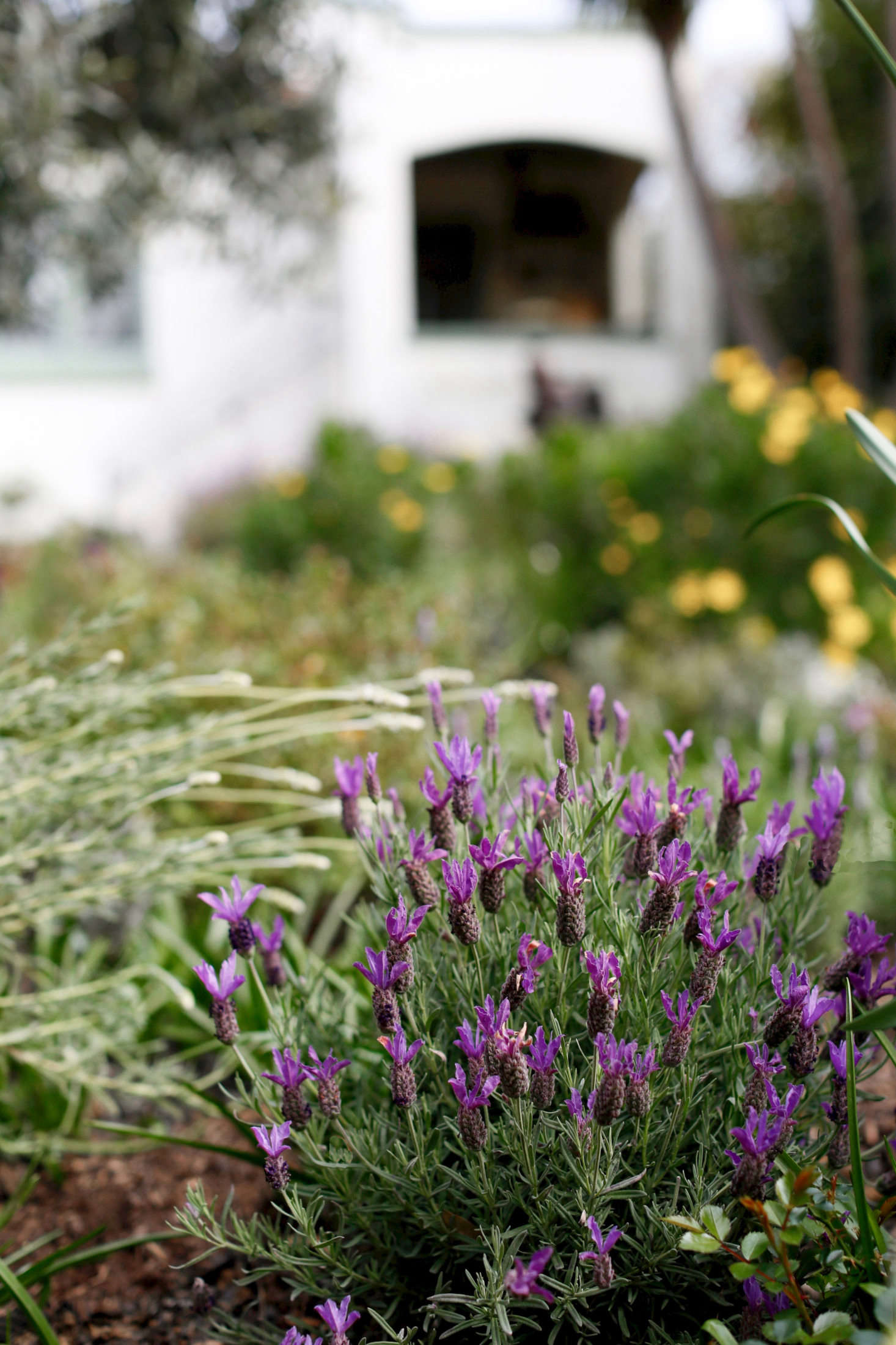 Everything You Need To Know About Lavender Plus 5 Kinds To Grow