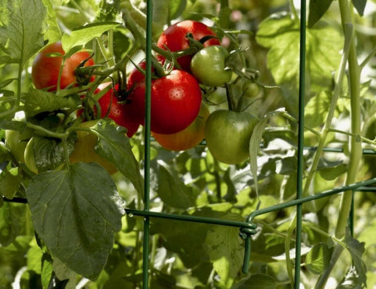 Tomatoes: How to Successfully Grow Beefsteak, Plum or Cherry
