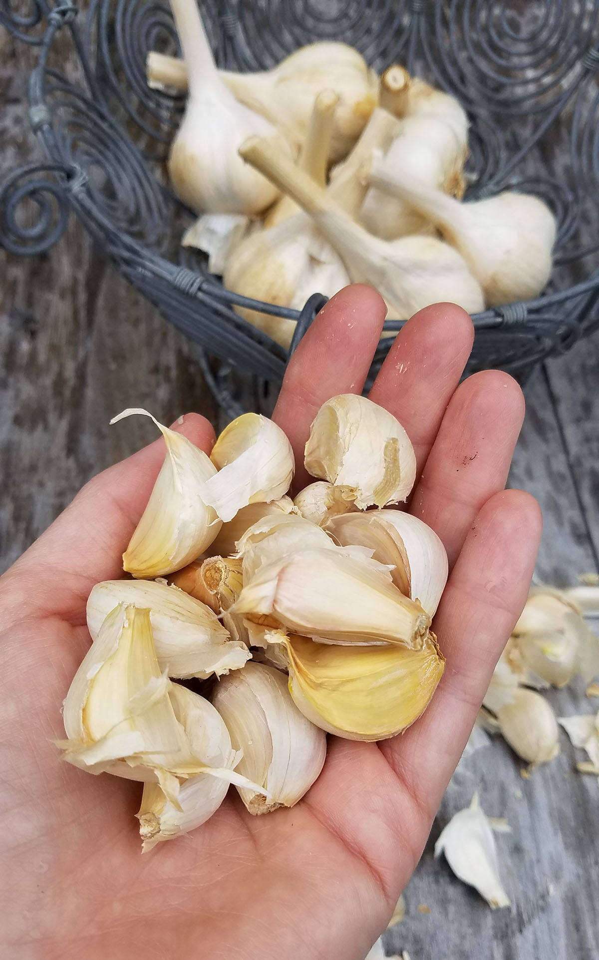 To plant garlic, crack the head to separate the cloves. Leave the papery skins on. Hardneck garlic cloves tend to be large, but discard any very small cloves (keep them for eating or pickling).