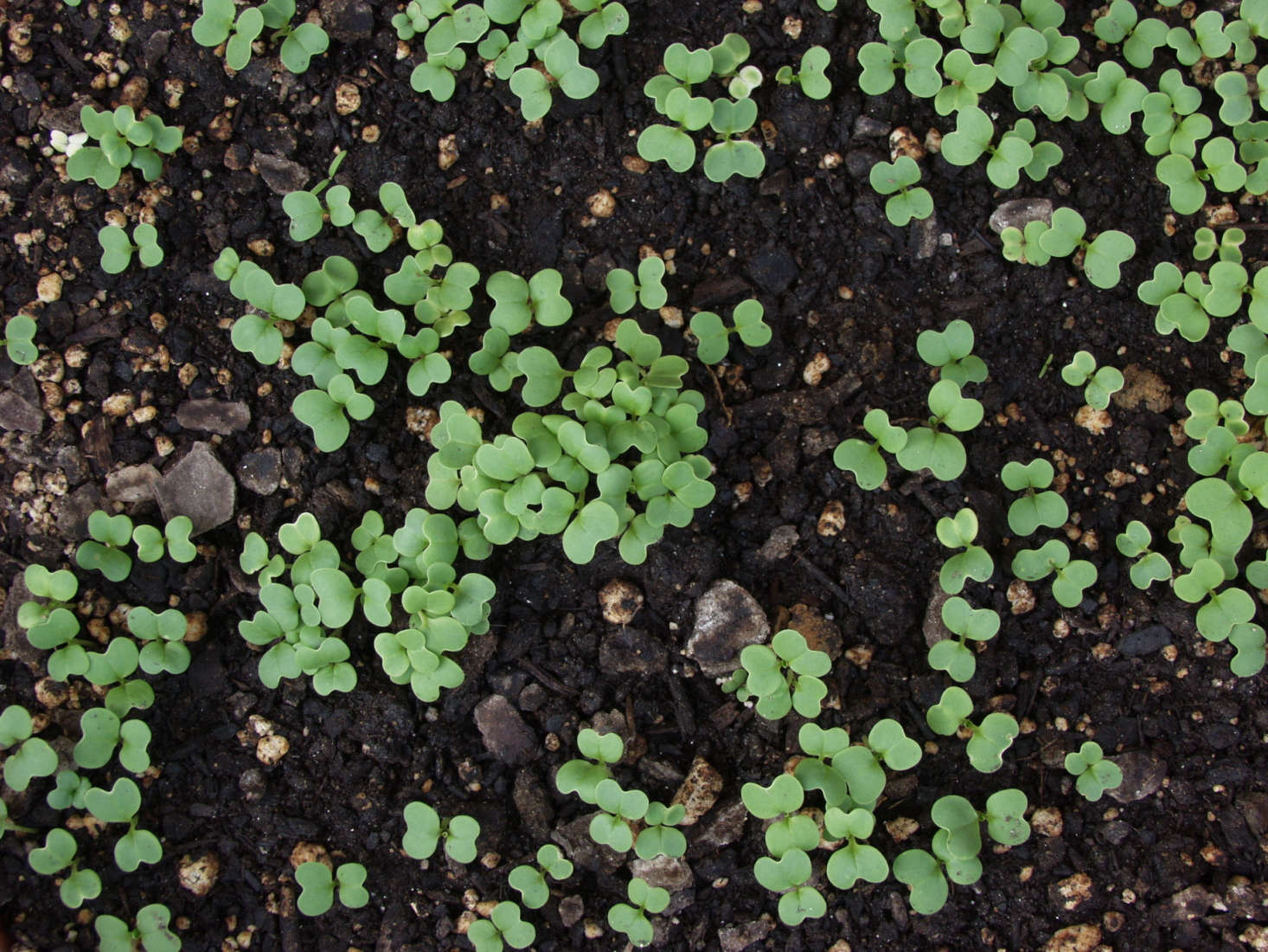 Mustard greens; seedlings in an edible garden. Photograph by Maggie McCain via Flickr.