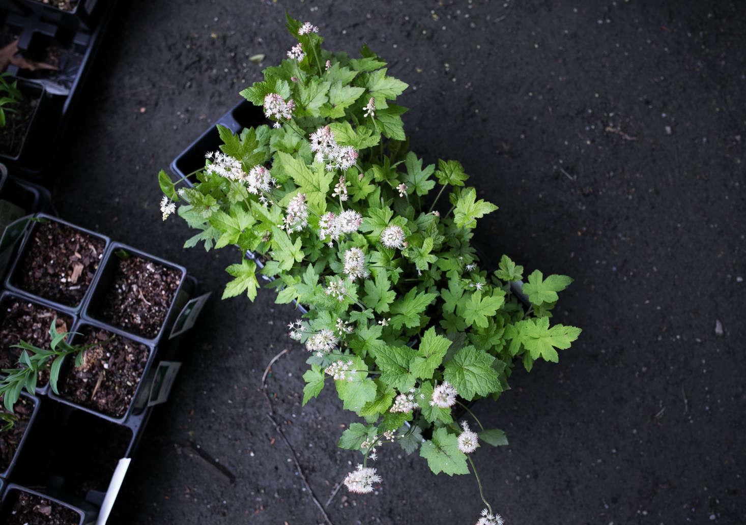 One of my favorites: foamflower, Tiarella cordifolia var. cordifolia makes a happy ground cover in a shade garden.