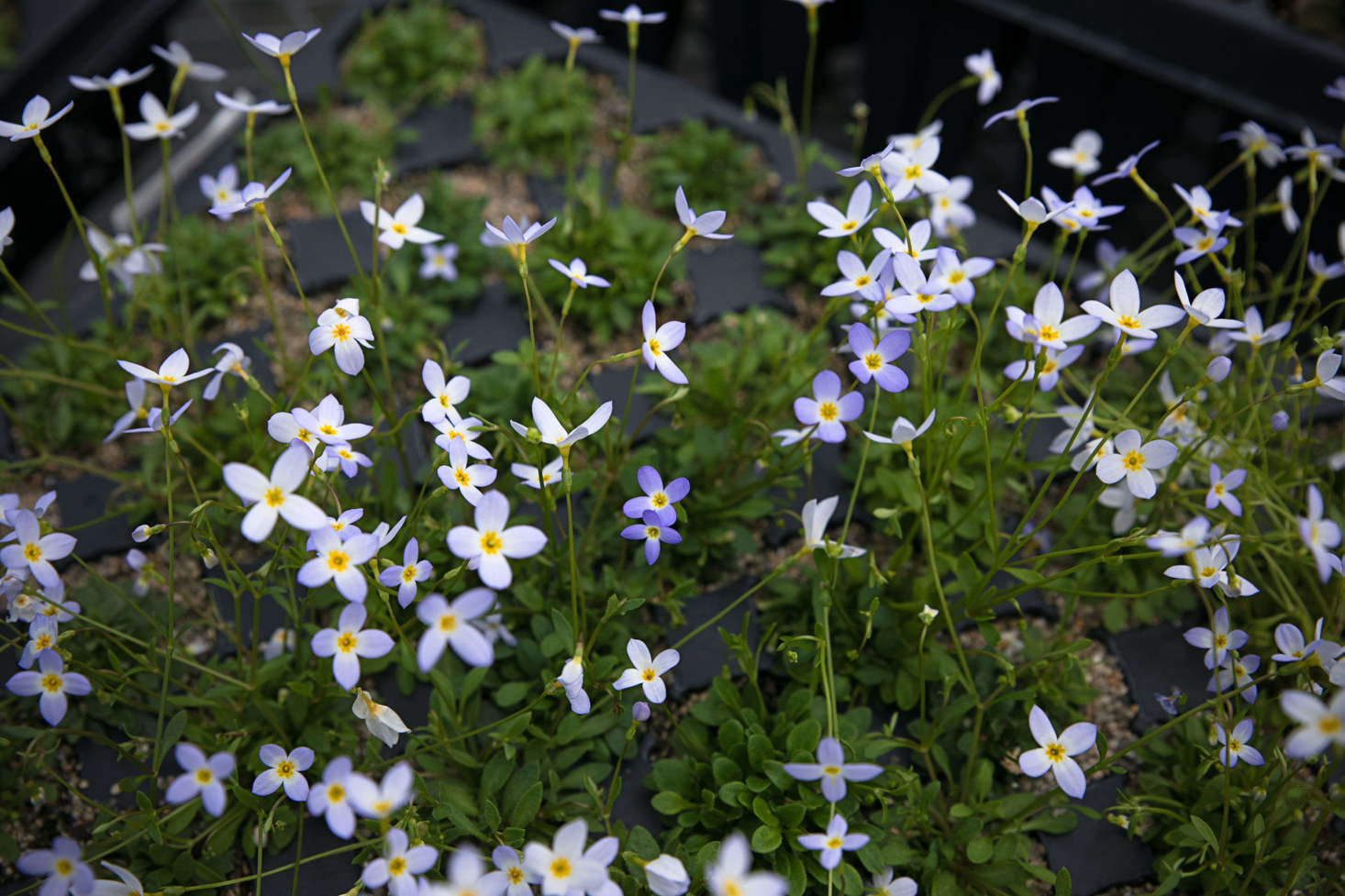 A spring-time favorite, cheerful bluets greet the day.