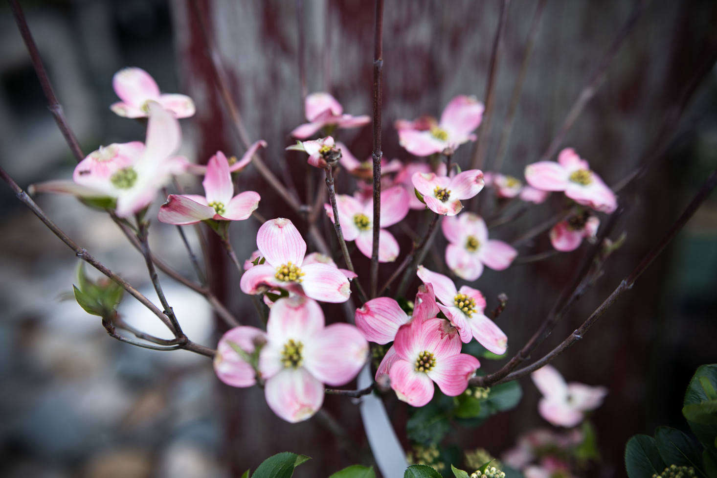 Vibrant pink flowering dogwood, Benthamidia florida(formerly Cornus florida), is one of the many flowering trees offered at Nasami.