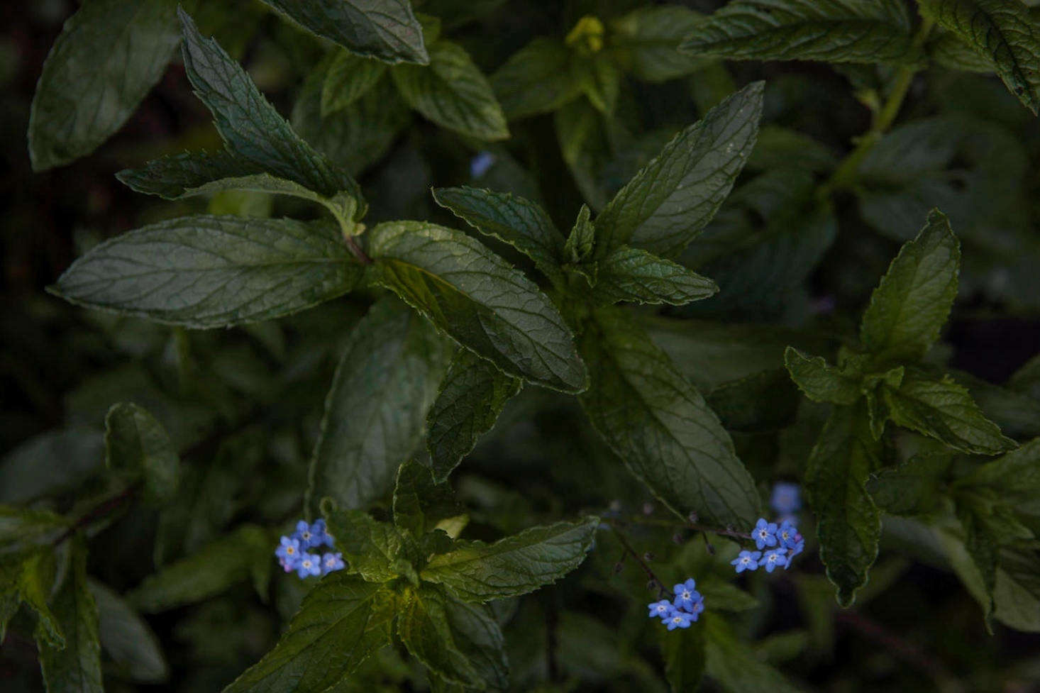 Mint, member of the Lamiaceae family. Grow your own with tips from Mint: A Field Guide to Planting, Care & Design.