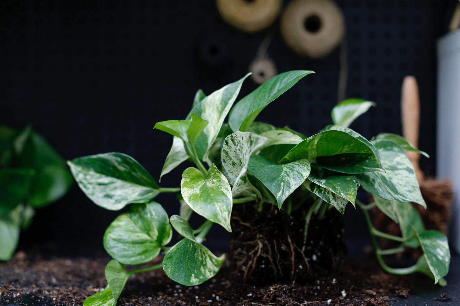 Image of: Pothos A Plant Care And Growing Guide For A Tropical Houseplant