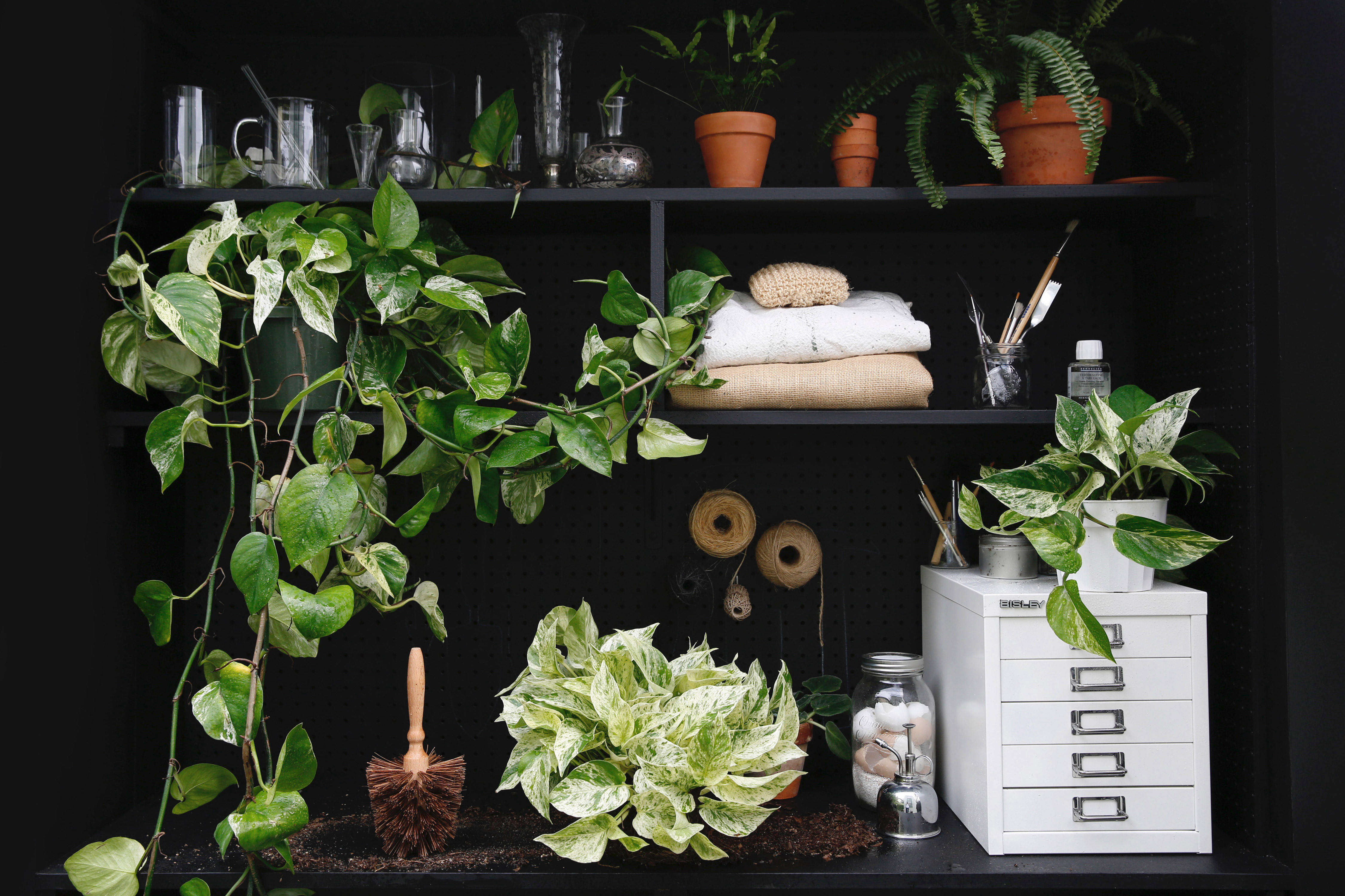 Pothos: A Plant Care and Growing Guide for a Tropical Houseplant