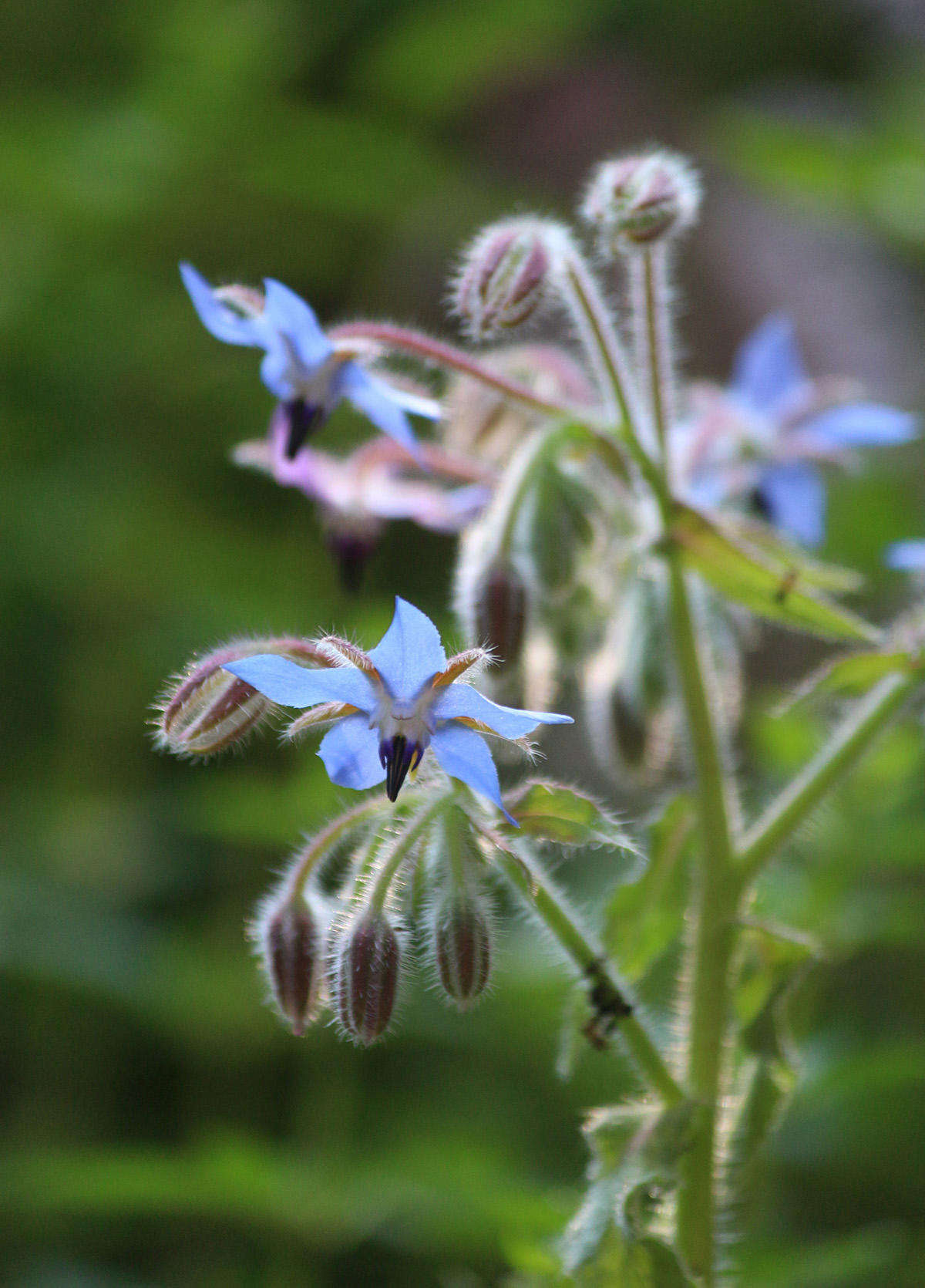 The clear blue of borage&#8