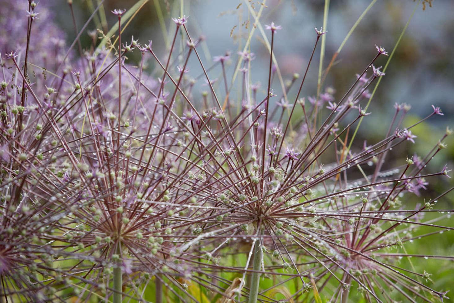 Allium schubertii at Bayntun Flowers, in Wiltshire.