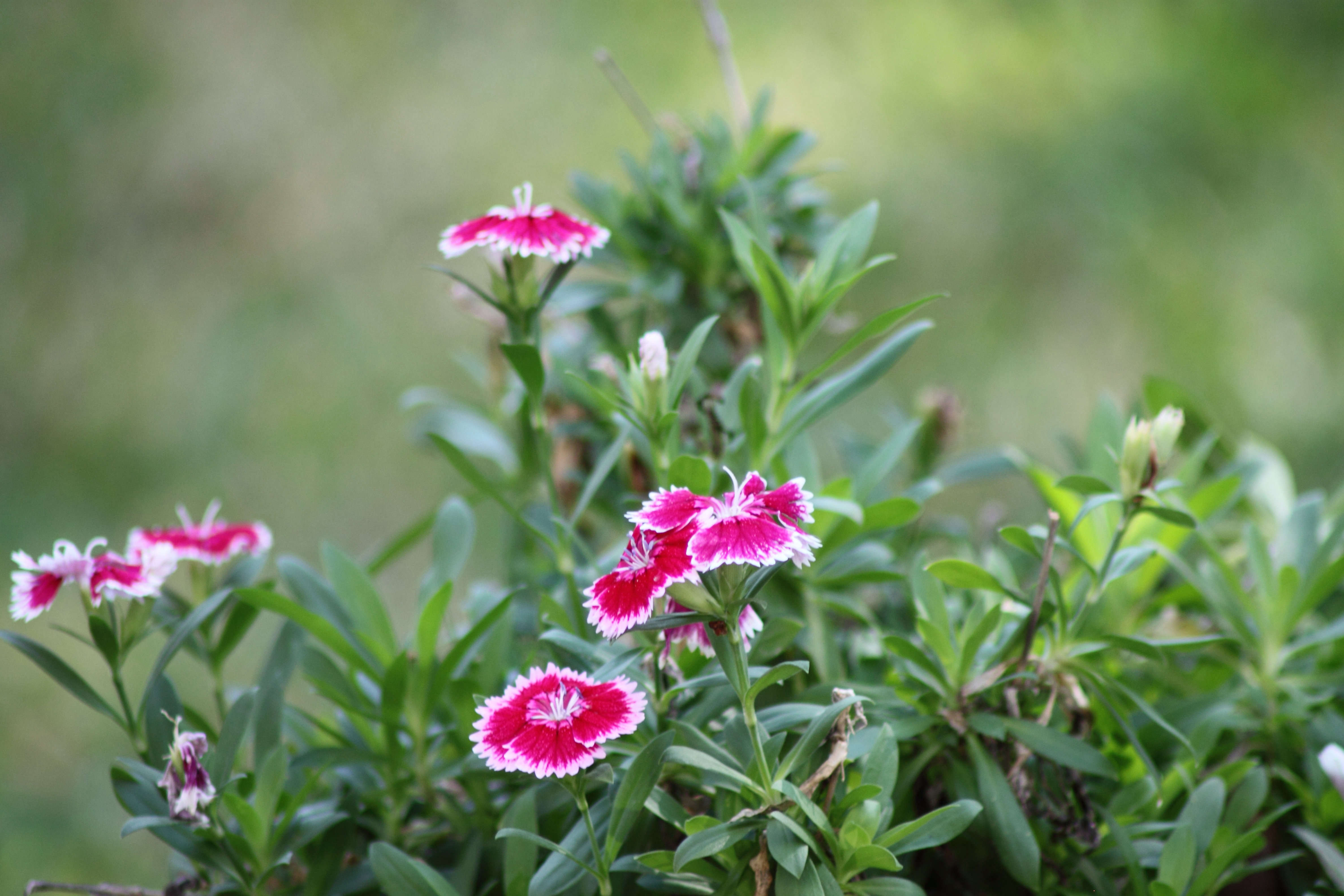 Dianthus A Guide To Growing Garden Pinks