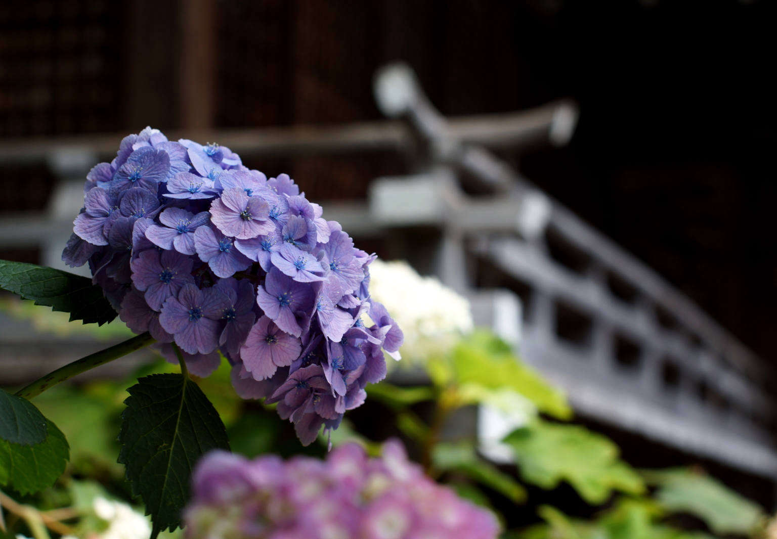 Everything You Need To Know About Hydrangeas Gardenista