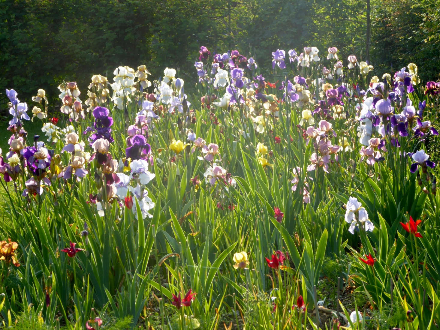 Everything You Need To Know To Grow Bearded Irises