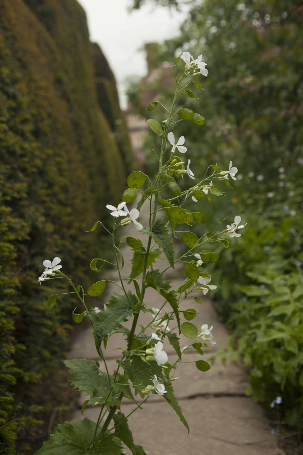 Lunaria that has self-seeded between a hedge and a path at Great Dixter.