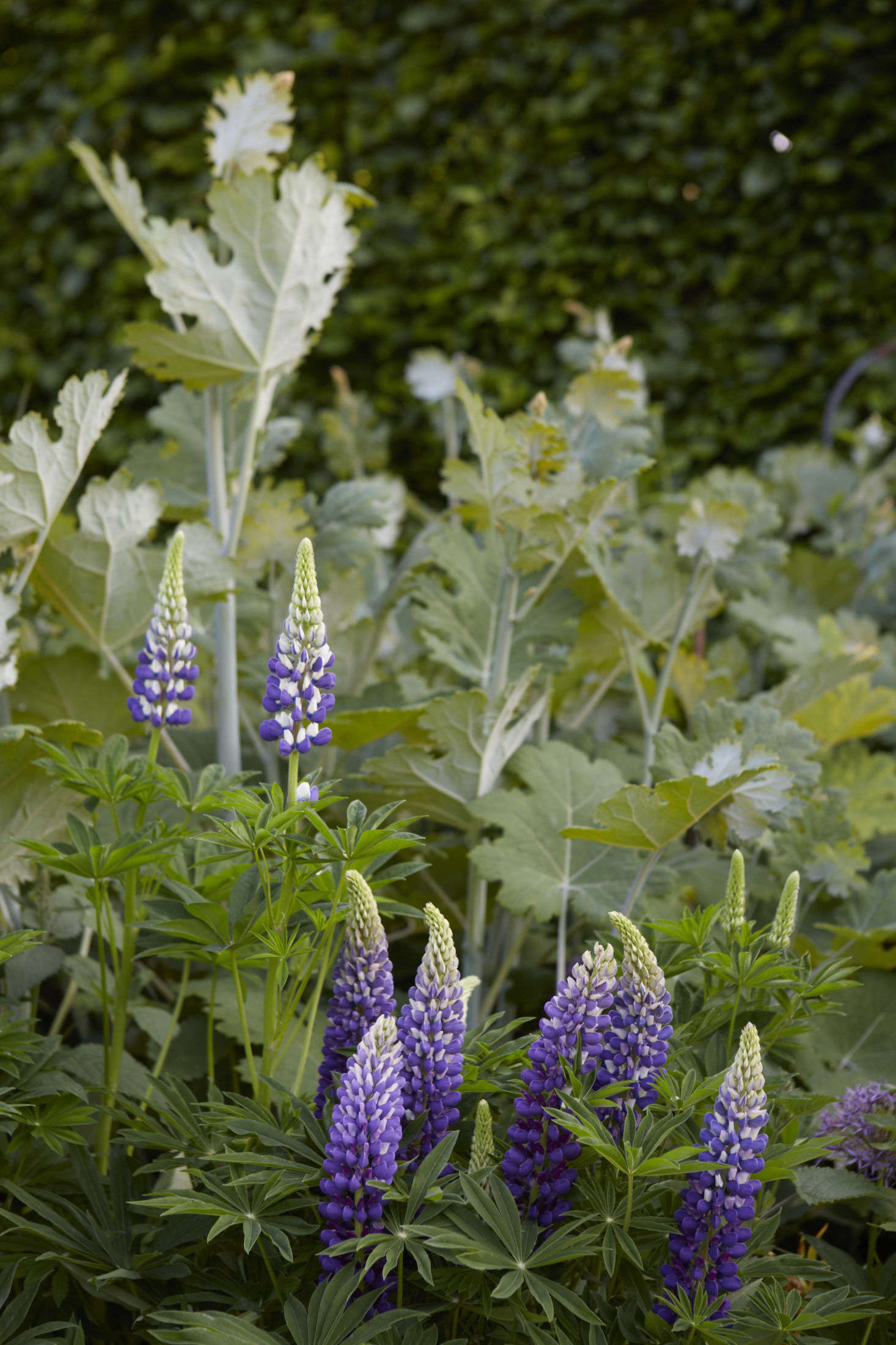 Deep purple flowers and sturdy spikes are a mark of Russell hybrids, the floriferous lupines that 19th-century English horticulturalist George Russell devoted a lifetime to creating.