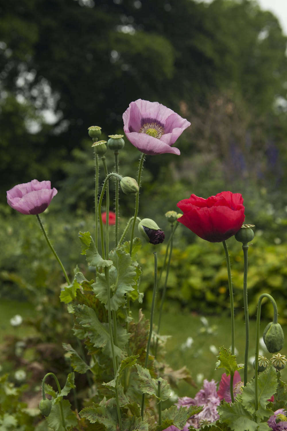 Papaver somniferum 'Pink Dawn' is a named variety which is similar but more predictable than the wild pink types.