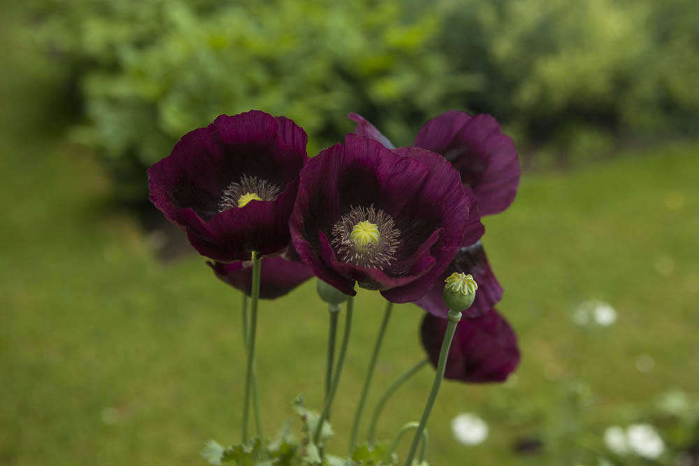 Single deep plum-purple opium poppies at Oxford Botanic Garden.