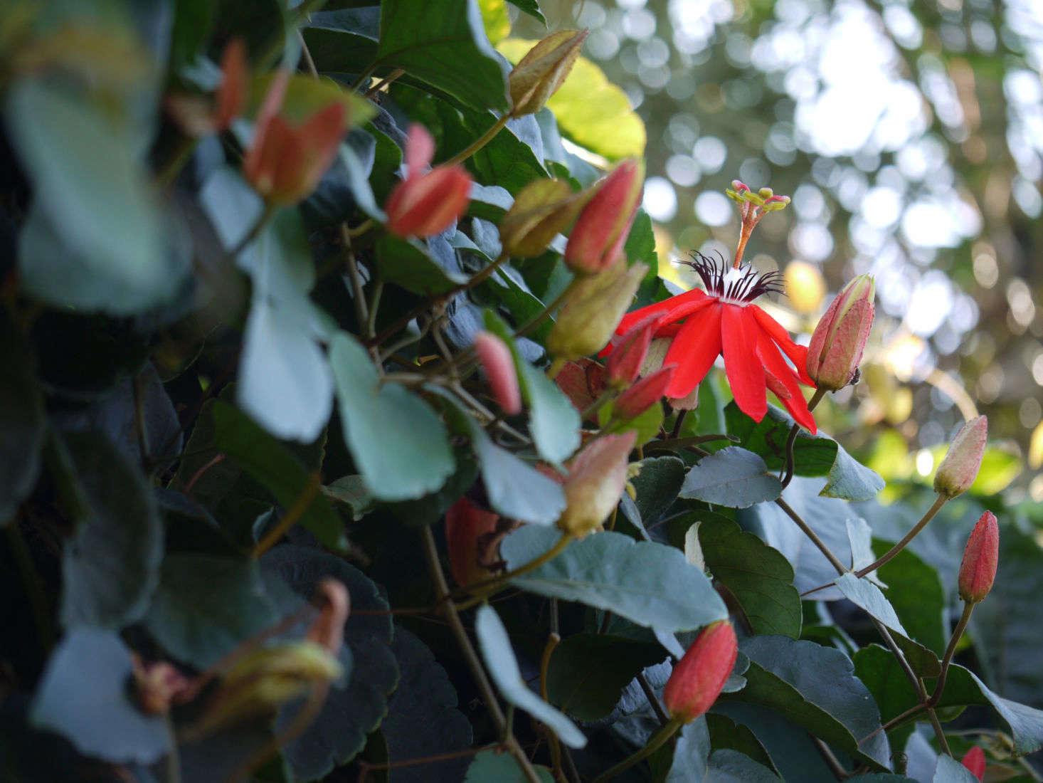 Gardening 101 Passionflower Gardenista