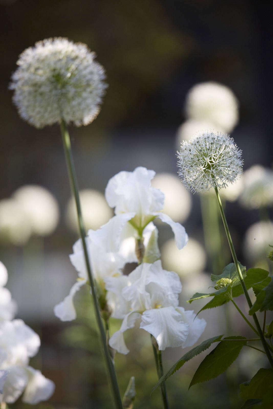 A river of iris and allium runs through the garden in early summer.